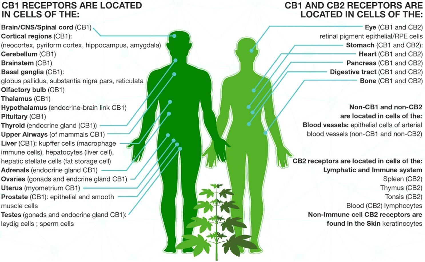 The ECS and where the CB Receptors are Located on the human body